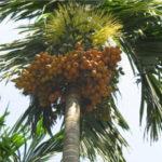 arecca tree